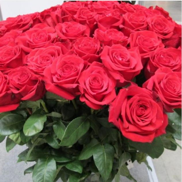 Роза красная страсть
